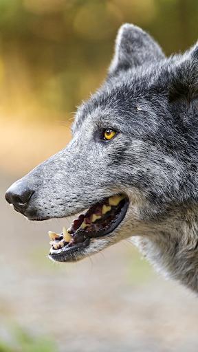 늑대 배경 화면 바탕화면 이미지