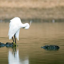 A little egret by Peter Kostov - Animals Birds ( egret, pond, nature, fauna, littleegret, bird, animal, autumn, lake, water, wildlife )