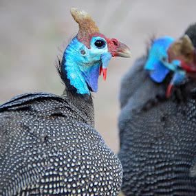 Guinea Fowl by Hannes van Rooyen - Animals Birds