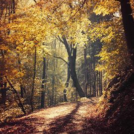 Autumn Walk LXXIII. by Zsolt Zsigmond - Landscapes Forests ( path, forest, fall, nature, light, woods, autumn, trees, landscape )