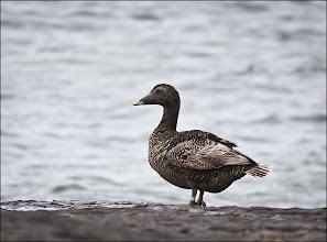 Photo: Bird N°22 - Eider Duck ♀ .. Latin -Somateria mollissima