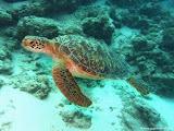 Photo: Tortue sur le site de Lohi Channel-Euro-Divers Club Med Kani.