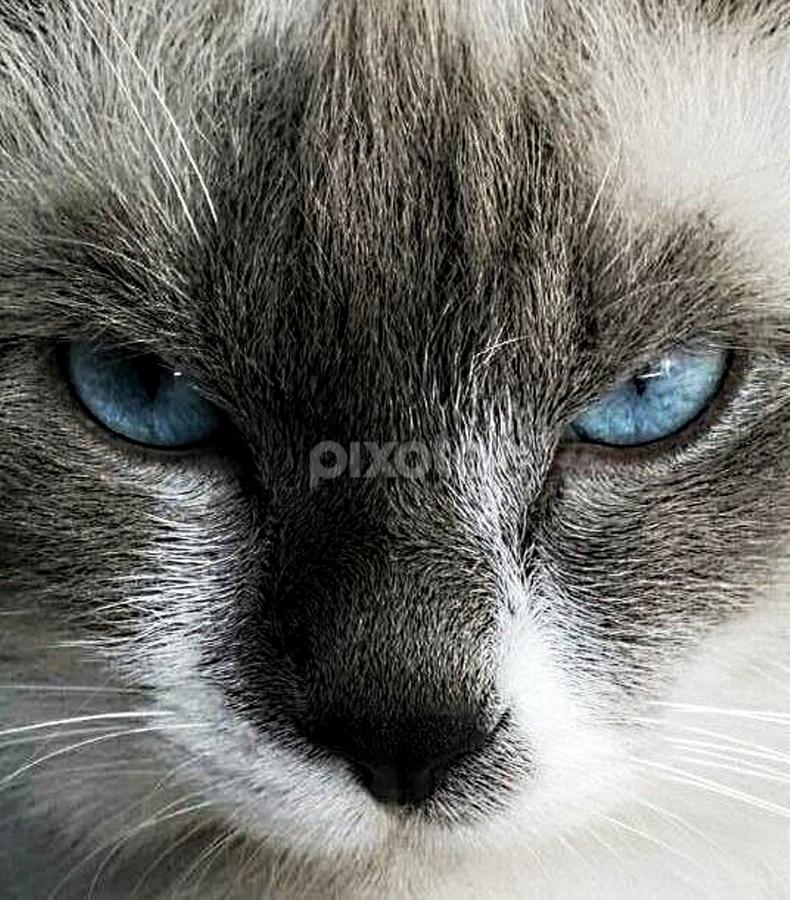 Seth by Gary Salcedo - Animals - Cats Portraits ( mammals, cats, animals, wild life, kittens,  )