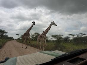 Photo: Űzekedő zsiráfok