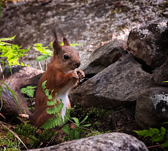 Photo: Red Squirrel with Ferns For #SquirrelSaturday curated by +Beth Blackwell+Skippy Sheeskin+Squirrel Saturday