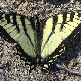 Swallow Tail by Debbie Squier-Bernst - Animals Other (  )