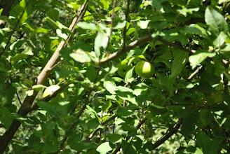 Photo: Les pommes sont bien avancées aussi !
