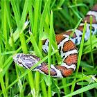 Milk snake (juvenile)