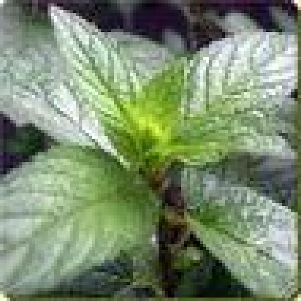 Mint. Description***	 One of the most popular spice used. Flavor***Strong, sweet, cool. Uses***Refreshing beverages, desserts,...