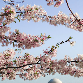 Cherry Blossoms by Erin Heavilin - Nature Up Close Trees & Bushes