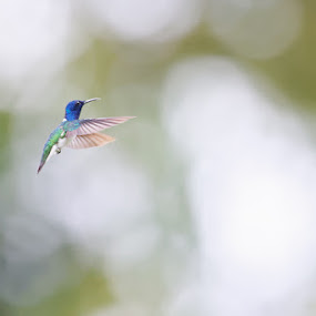 White-necked Jacobin (Florisuga mellivora) in flight by Johannes Oehl - Animals Birds ( neotropical region, ecosystem, iucn red list, trinidad & tobago, america, ecotourism, venezuela, beautiful, la fortuna de san carlos, latin america, full body, south america, action, nectarivore, la fortuna, natural light, profile, active, nicaragua, morning, fascination, florisuga mellivora, light, animal, great jacobin, humid climate, wing, daytime, ecuador, male, morning time, tropical zone, hovering, self-control, action shot, blur, costa rica, cute, sparkling, selective focus, least concern (lc), panama, nature and rural, from side, jungle tourism, colombia, delight, elegant, in-flight, telephoto, sustainable tourism, apodiformes, wildlife-photography, green background, tropical, outdoors, tropics, bokeh, movement, arenal volcano national park, florisuga, small, beauty, white-necked jacobin, fauna, adult animal, aves, guatemala, freeze frame, avian, amazing, adventure tourism, high key, trochilidae, bird, alajuela, neotropical realm, attractive, beauty in nature, herbivore, blurred background, central america, outside, honduras, flying, color image, lawngreen, agility, adorable, little, creative image, brazil, guyana, jacobin, adventure and extreme, responsible tourism, suriname, wildlife tourism, french guiana, chordata, peru, amazonia, belize, general view, exotic, blurred, pretty, green, motion, advantage, collared hummingbird, tropical climate, outdoor, low-impact, bolivia, clarity, hummingbird, delightful, appetite, animal-photography,  )