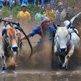 Dancing With Tail by Achmad Tibyani - Sports & Fitness Rodeo/Bull Riding ( bull race, indonesia, sport, spirit, pacu jawi )