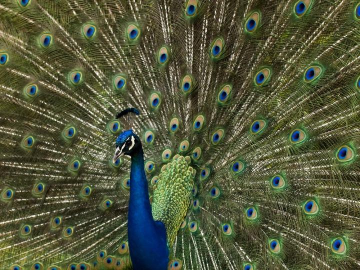 Peacock di utente cancellato