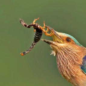 ROLLER WITH SCORPION by Subramanniyan Mani - Animals Birds