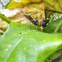 Percevejo-do-Maracujá / Diactor Leaf-Footed Bug