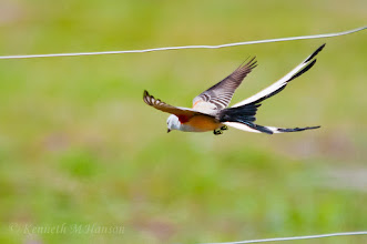 Photo: Scissor-tailed Flycatcher