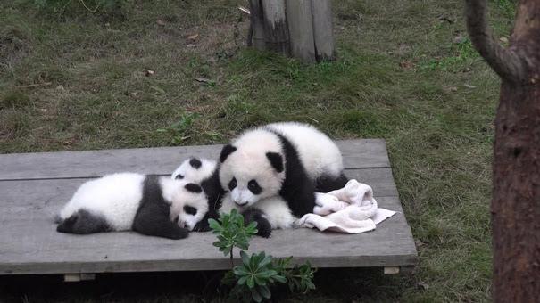Giant Panda Breeding Center, Chengdu