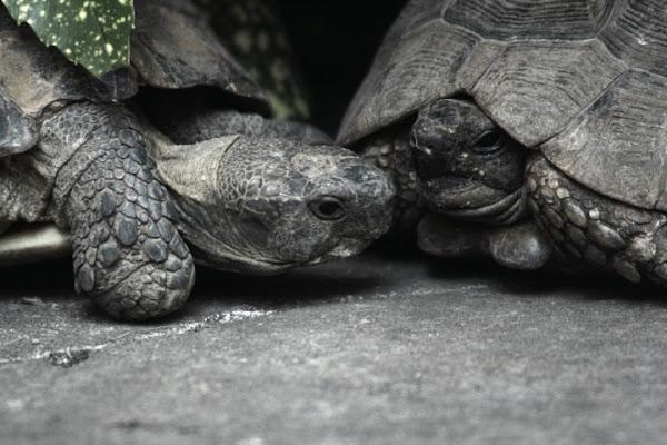 Amicizia fra tartarughe di wolfdog