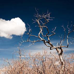 Lone Tree and Puffy Cloud by Kimberly Sheppard - Landscapes Prairies, Meadows & Fields ( field, sky, tree, cloud )
