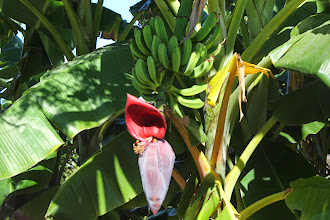 Photo: This is the flower of the banana