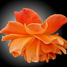WI rose 05 by Michael Moore - Flowers Single Flower (  )