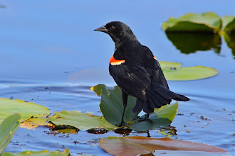 Photo: I'll start with a Red-winged Blackbird for #BirdPoker : Black curated by +Phil Armishaw  covering the one(s) played earlier. I'll jump back in later tonight with some other black cards...