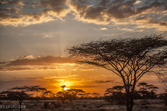 Photo: Sunset in one shot Ndutu, Tanzania, Africa  The sun was shooting towards the horizon, here I desperately searched for a giraffe to put in my silhouette shot, alas I did not find one in time. I have tried stalking giraffe as the sun sets in hopes of getting them in one of these shots, but even then the giraffe would not cooperate, I think they know what I'm trying to do. The funny thing is that the other safari vehicle got a similar shot but with the giraffe! They were listening when I told them I wanted giraffes in a sunset.  Photographic Details: This was shot on the way home, I used a high shutter speed simply because we were driving and I didn't want any motion blur. I took just one shot and processed it in lightroom 4 to bring out the details. This is something that may look like HDR but is nothing like it. To the unprocessed before shot go to www.kylefoto.com  Camera Settings: 1/800s f/4.0 ISO100 73mm