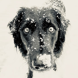 Quiggs by John Nelson - Animals - Dogs Portraits ( black/white, snow, quigley, dog, eyes,  )
