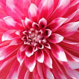 Dahlia by S B - Flowers Single Flower ( pink, dahlia, up close, petals, flower,  )
