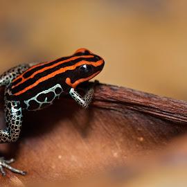 Ranitomeya ventrimaculata by Jen St. Louis - Animals Amphibians ( frog, colorful frog, poison dart frog, amphibian )