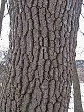 Photo: Mature black gum tree