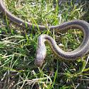 Eastern Garter (Gardener) Snake