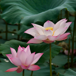 by Steven De Siow - Flowers Flowers in the Wild ( flowers, flowers photo, lotus, wild flowers, flower in the wild,  )