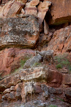 Photo: Bighorn sheep as seen while Whitewater rafting on the Yampa River which flows through Dinosaur National Monument in northeastern Utah.