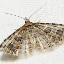 Montana Six-plume Moth