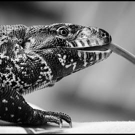 Lizard by Dave Lipchen - Black & White Animals ( lizard )