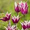 Fancy_Purple_Tulips.jpg