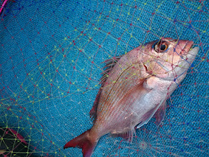 Photo: 小ぶりですが真鯛キャッチ!