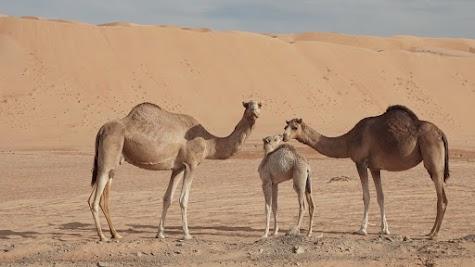 Kameleltern mit Jungtier