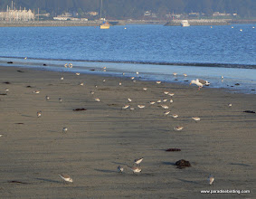 Photo: Sandpipers on the beach at Half Moon Bay.