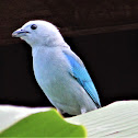Gray Blue Tanager