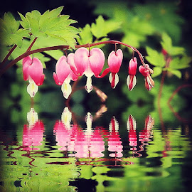 Reflections of my hearts. by Valerie Stein - Flowers Flower Gardens ( hearts. reflections., red, valerie stein, green,  )