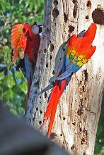 Photo: Scarlet Macaws