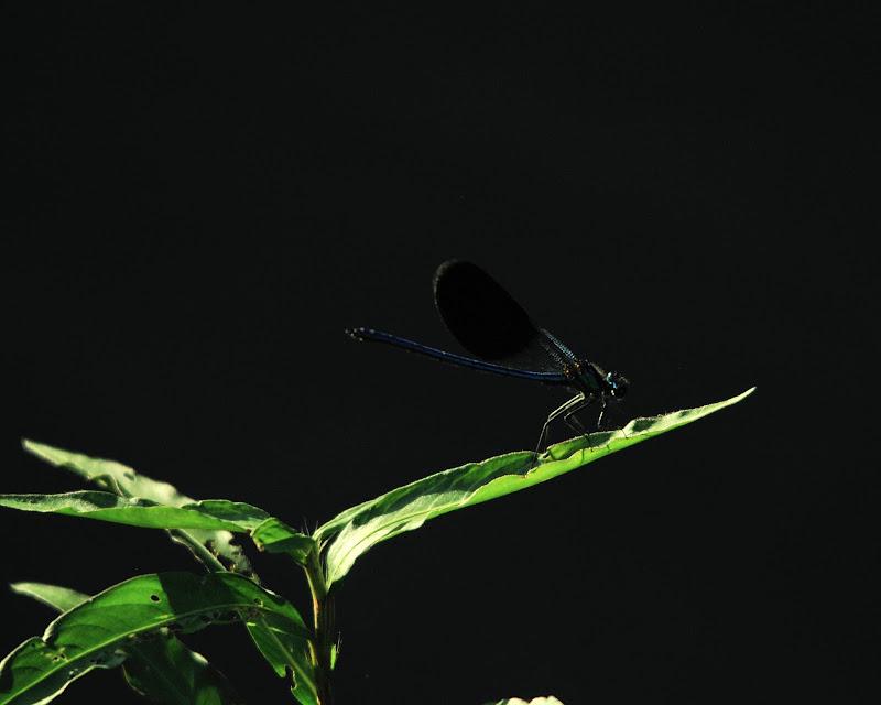 dragonfly di Gabor
