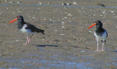 Photo: American Oystercatchers