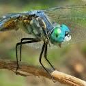 Blue dasher(male)