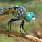 Blue dasher(male)