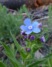 Photo: Sierra stickseed, Hackelia nervosa