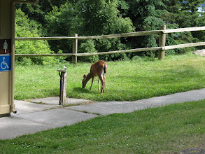 Photo: Day 4: We saw a pretty tame deer at Spencer's Spit state park.