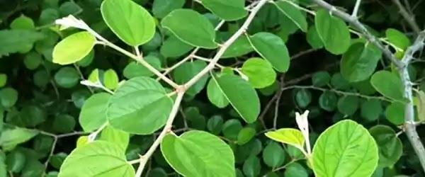 daun daunan apotik hidup untuk herbal daun bidara arab